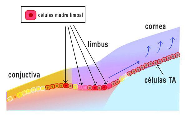 celulas madre limbal